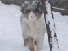 bergers-australiens-chiots-P1010942