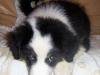 bergers-australiens-chiots-HPIM1883-(2)