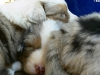 bergers-australiens-chiots-P1200475
