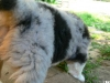 bergers-australiens-chiots-P1200483