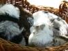 bergers-australiens-chiots-P1200572