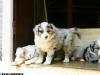 bergers-australiens-chiots-P1200602