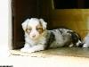 bergers-australiens-chiots-P1200604