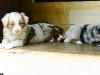 bergers-australiens-chiots-P1200607