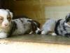 bergers-australiens-chiots-P1200609