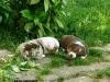 bergers-australiens-chiots-P1200621