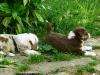 bergers-australiens-chiots-P1200627