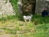 bergers-australiens-chiots-P1200759