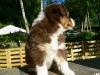 bergers-australiens-chiots-P1200775
