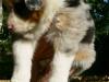 bergers-australiens-chiots-P1200872