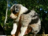 bergers-australiens-chiots-P1200874