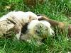 bergers-australiens-chiots-P1200896