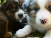 bergers-australiens-chiots-P1200905