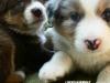 bergers-australiens-chiots-P1200906