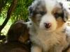 bergers-australiens-chiots-P1200909