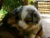 bergers-australiens-chiots-P1200911