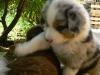 bergers-australiens-chiots-P1200913