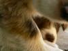 bergers-australiens-chiots-P1200927