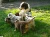 bergers-australiens-chiots-P1210039