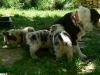 bergers-australiens-chiots-P1210056
