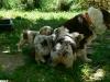 bergers-australiens-chiots-P1210057