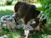 bergers-australiens-chiots-P1210064
