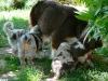 bergers-australiens-chiots-P1210066