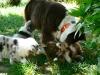 bergers-australiens-chiots-P1210067
