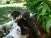 bergers-australiens-chiots-P1210071