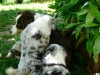 bergers-australiens-chiots-P1210072