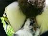 bergers-australiens-chiots-P1210132