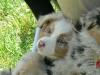 bergers-australiens-chiots-P1210135