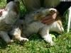 bergers-australiens-chiots-P1210138