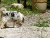 bergers-australiens-chiots-P1210140