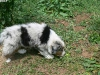 bergers-australiens-chiots-P1210150