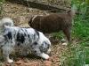 bergers-australiens-chiots-P1210152