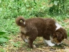 bergers-australiens-chiots-P1210154
