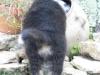 bergers-australiens-chiots-P1150253