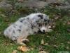 bergers-australiens-chiots-P1150255
