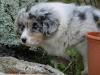 bergers-australiens-chiots-P1150259