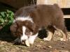 bergers-australiens-chiots-P1150321