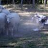 moutons2-berger-australien