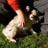 Le berger-australien aime interagir !