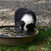 Le berger-australien aime l'eau ?
