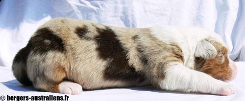 chiot berger australien rouge merle